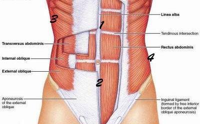 musculos-y-grasa-abdominal